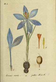 Crocus varie Deutschlands flora in abbildungen nach der natur / 1798