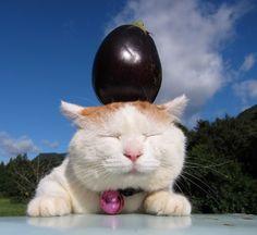 Shiro neko with an eggplant on his head.