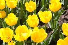 Multiple sunny tulips. Wonderful Flowers, Yellow Tulips, Vegetables, Plants, Google, Vegetable Recipes, Plant, Veggies, Planets