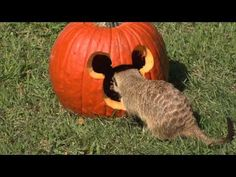 Disney's Animal Kingdom Wildlife Treated to Pumpkins for Halloween- OMG!!! Cutest thing ever!