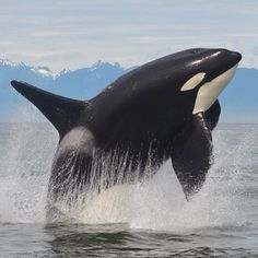 No one knows why killer whales or other cetacean species breach, and there is almost. Orcas, Ocean Creatures, Cute Creatures, Animals Beautiful, Cute Animals, Big Whale, Ocean Day, Oceans Of The World, Killer Whales