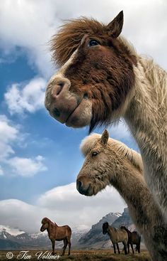 what can i say :-) - Icelandic horses !