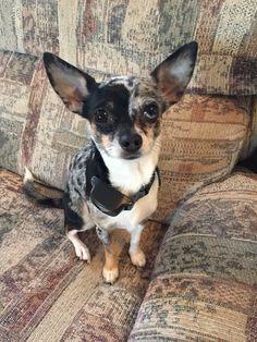 Luna Blue Merle Chihuahua
