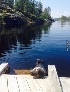 Meanwhile in Finland: saimaa ringed seal taking a nap Lappland, Meanwhile In Finland, Beautiful Places, Beautiful Pictures, Archipelago, Helsinki, Nature Pictures, What Is Like, The Great Outdoors