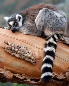 Ringed-Tailed Lemur (Lemur catta) - Shelly Wetzel    ✿ NATURE & WILDLIFE BLOG ✿  Love Nature? CLICK HERE! Jungle Animals, Animals And Pets, Baby Animals, Cute Animals, Madagascar, Primates, Mammals, The Wooly, Pet Store