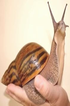 could totally have a giant snail as a pet! Giant Animals, Animals And Pets, Baby Animals, Cute Animals, African Snail, Giant African Land Snails, Reptiles, Amphibians, Giant Snail