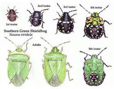 Field Guide to UK Hemiptera, Bug identification