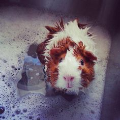 how to bath your guinea pig
