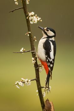 Greater Spotted Woodpecker.