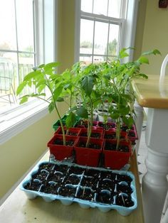 Picture guide: Growing tomato plants from seed, transplanting seedlings, how and when. Actual useful info.