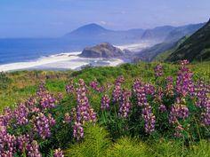 Lupine Flowers and Rugged Coastline along Southern Oregon, USA Valokuvavedos tekijänä Adam Jones AllPosters.fi-sivustossa