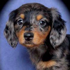 My dapple dachshund baby girl
