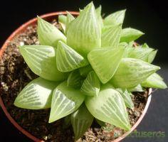 Haworthia mirabilis var. mirabilis