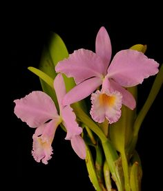 Cattleya warneri concolor   por *Kytta*