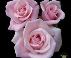 Valerie - Standard Rose - Roses - Flowers by category | Sierra Flower Finder