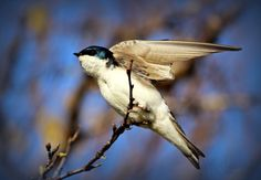 Tree Swallows...Shamik Photography ~ Devoted to the Natural Elements