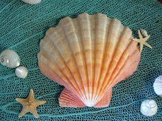 Natural Lions Paw Scallop Shell Large Seashells Coastal
