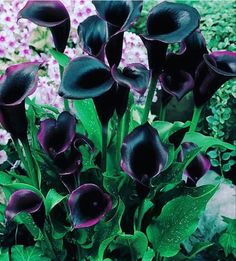 Black Calla Lily, Calla Lily Flowers, Dark Flowers, Calla Lillies, Exotic Flowers, Beautiful Flowers, Black Dahlia, Cactus Flower, Tropical Flowers