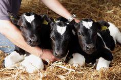 Rare triplet calves born, named after royal baby