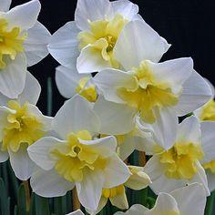 """Narcissus Bella Estrella ist eine Narzisse mit vielen, außergewöhnlichen Blüten. Ihre Kronen sind """"gespalten"""" und legen sich wellig auf die weißen Blütenblätter. Für den eigenen Garten: Pflanzzeit für die Narzissenzwiebeln ist im Herbst. Online erhältlich bei www.fluwel.de"""