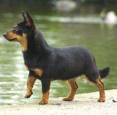 Breed Love | Doggerel - Rare Dog Breed #8 of #12 : Lancashire Heeler