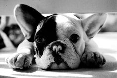 French Bulldog - love the little nose