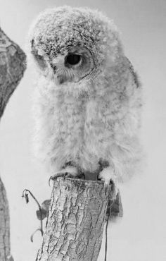 Sweet Little Owl, one of my other favorite animals. Even though I hate birds lol, they are majestic. All Gods Creatures, Cute Creatures, Beautiful Creatures, Baby Owls, Cute Baby Animals, Animals And Pets, Wild Animals, Cute Baby Owl, Beautiful Owl