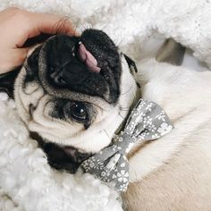 70747b2aa608 Gorgeous pug Penelope of @Pea.child wearing the grey floral dog bow tie #