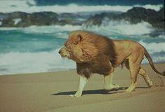 Lion on the beach-Namibia