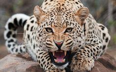 ~Leopard *-*