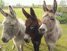 If you wonder what a donkey can eat, you can find all important feeding facts here. Take good care of your donkey with best information. Donkey Donkey, Baby Donkey, Cute Donkey, Mini Donkey, Farm Animals, Animals And Pets, Cute Animals, Beautiful Creatures, Animals Beautiful