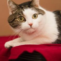 Destiny is an adoptable Domestic Short Hair Cat in Neenah, WI. Hi, my name is Destiny, I came in as a stray with my friend Faith. I am a spayed senior female, I am also front declawed. I love to have ...