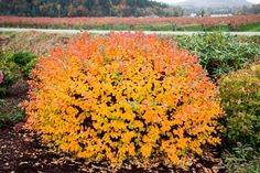 HAVE IT - what it looks like in the fall - Spiraea Thunbergii Ogon Spirea betula tor Patio Plants, Garden Shrubs, Fall Plants, Garden Soil, Landscaping Plants, Front Yard Landscaping, Garden Oasis, Gardening, Small Shrubs