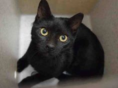 CLOUDY - A1087770 - - Staten Island  TO BE DESTROYED 09/03/16***CLOUDY is a handsome, silky 6 month old kitten, with big yellow eyes and a black glossy coat. He was brought into the shelter in a trap with hopes that he can find a home and become someone's sweet cat pal. CLOUDY is a sweet but scared guy and needs lots of attention and patience so he can learn to trust humans. If he's not rescued, this handsome young kitten will be killed at the shelter. This poor guy doe