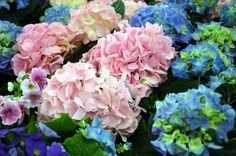 Everything You Need to Know About Endless Summer Hydrangeas Hydrangea Bloom, Hydrangea Care, Blue Hydrangea, Hydrangea Season, Hydrangea Plant, Hydrangeas, Hydrangea Macrophylla, Hydrangea Fertilizer, Endless Summer Hydrangea