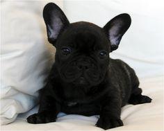 Bouledogue Francese Allevamento by A. Vergara, French Bulldog Puppy.