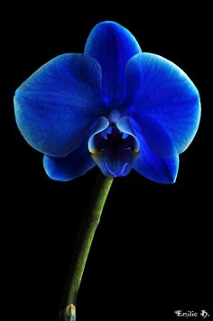 Blue Orchid color added in the base of roots and stems as seen in home depot