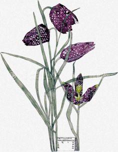 Scarlet Quince cross stitch chart: Fritillaria - Charles Rennie Mackintosh