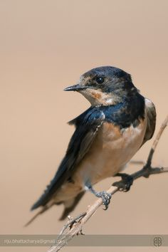 Barn Swallow...from close quarters