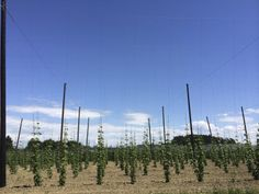 Blue sky and beautiful hops from the Tettnang region of Germany near lake Constance.  Picture taken in May 2014 during a trip by 47Hops to the region.