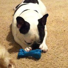 French bulldog....no one takes my toy when I sleep.