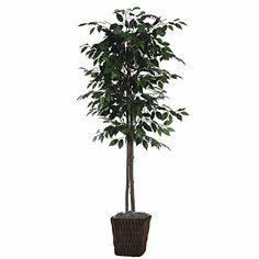 6' fig tree