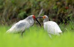 Japanese crested ibis(Nipponia nippon)トキ ▶This image is the one of the population released back into the wild.