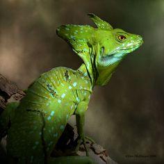 Generated a random animal species: A goat, armadillo, orangutan, porpoise, cheetah. Nearly 200 different animals! Les Reptiles, Reptiles And Amphibians, Mammals, Geckos, Chameleon Lizard, Komodo Dragon, Lizard Dragon, Beautiful Snakes, Animal Species