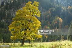 View top-quality stock photos of Old Mountain Maple Tree With Foilage. Find premium, high-resolution stock photography at Getty Images. Sacred Groves, Maple Tree, Alps, Royalty Free Images, Germany, Mountain, Stock Photos, Photography, Photograph