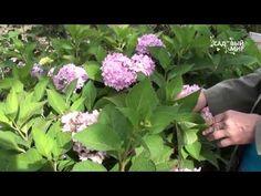 Садовые гортензии уход обрезка и зимовка.Консультант Л И Калашникова | сад-огород | Постила