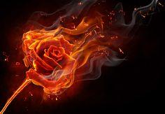 Burning Rose 9952
