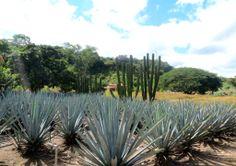 Pour faire de la Tequila, tout par de là ! I #Mexique I #TourDuMonde