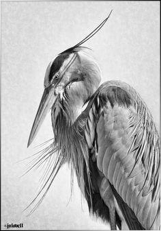 Owl Art, Bird Art, Bird Drawings, Animal Drawings, Hanya Tattoo, Australian Birds, Animal Sketches, Bird Pictures, Exotic Birds
