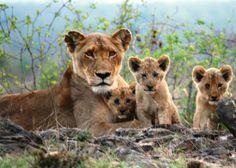 lion cubs, klaserie, river pride